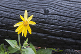 Burnt Trees and Arnica Flower in a Year-old Burn Area Photographic Print by Rich Reid