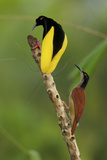 A Male Twelve Wired Bird of Paradise Brushes the Female with Feathers Photographic Print by Tim Laman