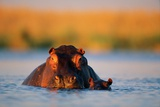 A Partially Submerged Hippo and Her Young Photographic Print by Beverly Joubert