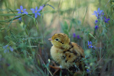 An Attwater's Prairie Chick Surrounded By Wildflowers Photographic Print by Joel Sartore