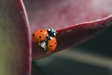 A Seven-spotted Ladybird, Coccinella Septempunctata, On an Ice Plant Fotografisk tryk af Rich Reid