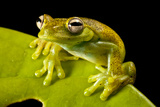A Treefrog, Hyloscirtus Sp., On a Leaf in Colombia's Choco Department Photographic Print by Robin Moore