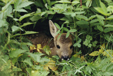 An Juvenile Roe Deer (Capreolus Capreolus) Looks Out From a Nest of Green Plant S Photographic Print by Mattius Klum