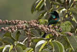 A Male Splendid Astrapia Feeds At Fruiting Schefflera Tree Photographic Print by Tim Laman