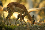 A Newborn Impala, Aepycerios Melampus, and Mother At Birth Site Photographic Print by Beverly Joubert