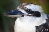 Close Up Portrait of a Laughing Kookaburra, Dacelo Novaeguineae Photographic Print by Kent Kobersteen