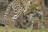 A Mother Leopard Grooming Her Cub Photographic Print by Beverly Joubert