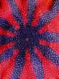A Close Up of a Sun Star, Solaster Stimsoni Photographic Print by Bates Littlehales
