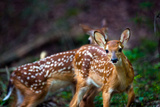 Two White-tailed Deer Fawns, Odocoileus Virginianus, in Their Habitat Photographic Print by Josh Howard