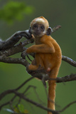 A Baby White-headed Langur, Trachypithecus Leucocephalus, in a Tree Photographic Print by Jed Weingarten
