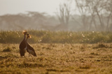 Two Crowned Cranes, Balearica Pavonina, Kissing in Early Morning Mist Photographic Print by Robin Moore