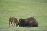 American Bison Calf Playfully Butts Heads with Mother Fotografisk tryk af Norbert Rosing