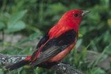 Portrait of a Male Scarlet Tanager, Piranga Olivacea Photographic Print by Bates Littlehales