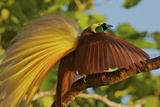 The Upright Wing Pose of a Greater Bird of Paradise Photographic Print by Tim Laman