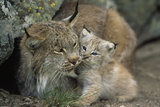 A Captive Female Lynx (Felis Lynx) and Her Young Cub Fotografisk tryk af Norbert Rosing