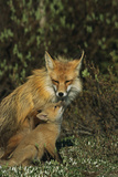 A Red Fox Mother and Her Pup Fotografisk tryk af Norbert Rosing