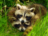 A Portrait of Two Raccoon Kits in Grass Fotografisk tryk af Terri Moore