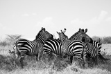 Plains Zebras, Equus Burchelli, Resting Against One Another Photographic Print by Robin Moore