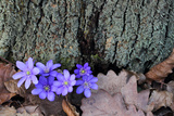 Liverwort Flowers, Hepatica Nobilis, At the Base of a Tree Trunk Photographic Print by Joe Petersburger