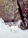 A White-tailed Ptarmigan, Lagopus Leucurus Photographic Print by David Hiser
