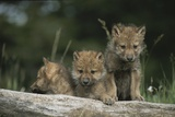 A Trio of Captive Wolf Pups  Stand Behind a Fallen Tree Trunk Photographic Print by Tom Murphy