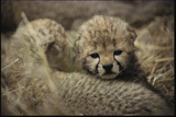 Three-day Old Cheetah Cubs Photographic Print by Mark C. Ross