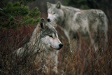 Gray Wolves in Red Willows Reproduction photographique par Jim And Jamie Dutcher