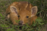 A Swamp Deer Fawn Hiding in Grass in Kaziranga National Park Photographic Print by Steve Winter