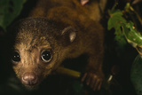 Close Up of the Face of a Curious-looking Kinkajou Pup(Potos Flavus) Photographic Print by Mattius Klum