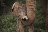 Newborn Elephant Being Held Up By Mother's Trunk Photographic Print by Mark C. Ross