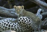 A Leopard  Cub, Panthera Pardus, Prepares to Nurse Photographic Print by Beverly Joubert