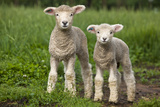 Portrait of Two Cute Baby Sibling Romney Lambs in a Green Pasture Photographie par Karine Aigner