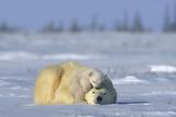 A Polar Bear Cub Plays with It's Resting Mother. Ursus Maritimu Fotografisk tryk af Norbert Rosing