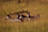 A Group of Plains Zebras, Equus Quagga, in a Grassland Fotografisk tryk af David Pluth