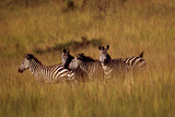 A Group of Plains Zebras, Equus Quagga, in a Grassland Photographic Print by David Pluth