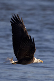A Bald Eagle Flying with a Fish in It's Talons That It Has Just Caught Photographic Print by Kent Kobersteen
