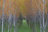 Cultivated Aspen, Populus Species, Hybrids Planted in Rows Photographic Print by Joe Petersburger