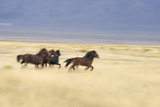 Mustangs Run Wild in the Nevada Plains Photographic Print by J.Bruce Baumann