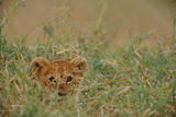 An African Lion (Panthera Leo) Cub Peers At the Camera Through the Grass Photographic Print by Michael Nichols