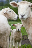 Portrait of a Romney Lamb Flanked By Two Adult Sheep Photographic Print by Karine Aigner
