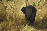 An Endangered Sri Lankan Elephant Calf Stands in Shady Grass Photographic Print by Jason Edwards