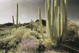 Wildflowers Blooom Among Cactus in a Desert Landscape Photographic Print by Annie Griffiths