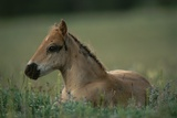 A Close View of a Wild Colt Lying in a Field. Photographic Print by Chris Johns