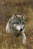 A Roaming Alpha Male Gray Wolf Photographic Print by Jim And Jamie Dutcher