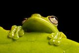 A Treefrog, Hyloscirtus Sp., Peers From Behind a Leaf Fotografisk tryk af Robin Moore