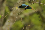 A Male Blue Bird of Paradise Foraging Photographic Print by Tim Laman