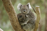 A Mother Koala and Baby in the Fork of a Tree Photographic Print by Medford Taylor