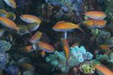 A School of Anthia Fish in the Quirimbas Archipelago of Mozambique Reproduction photographique par Jad Davenport