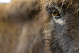 Close Up Portrait of a Miniature Sicilian Donkey Face and Eye Staring Stampa fotografica di Karine Aigner