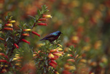 A Red-chested Sunbird, Nectarinia Erythrocerca, Among Flowers Fotografisk tryk af David Pluth